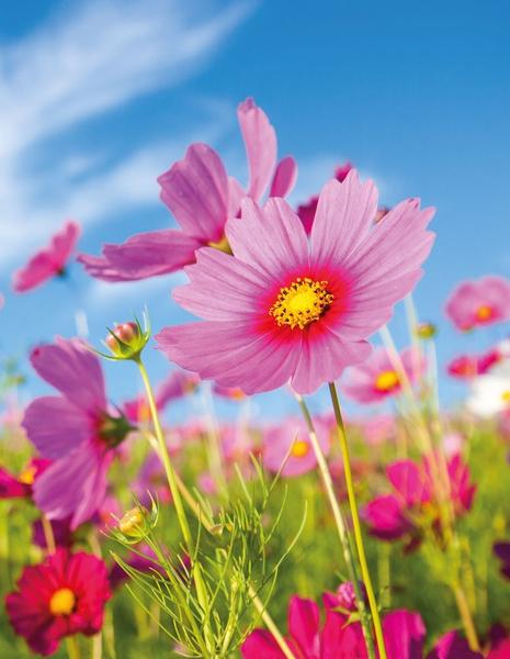 Bilde av Cosmos Flower Skrivebok