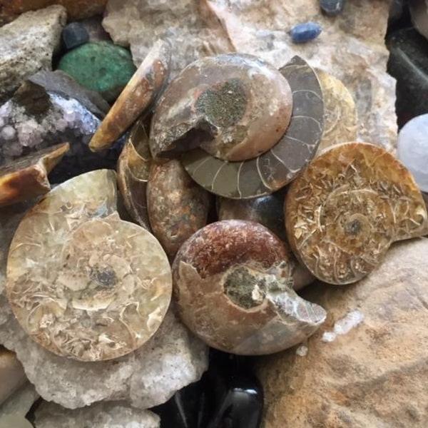 Bilde av Ammonitter
