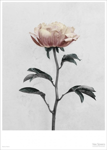 Bilde av Vee Speers Botanica Paeonia
