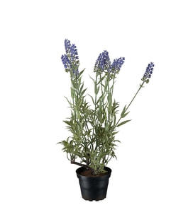Bilde av Lavendel