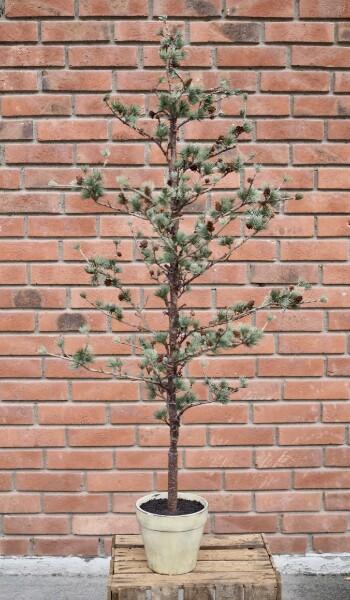 Bilde av Mr Plant - Lerketre - medium