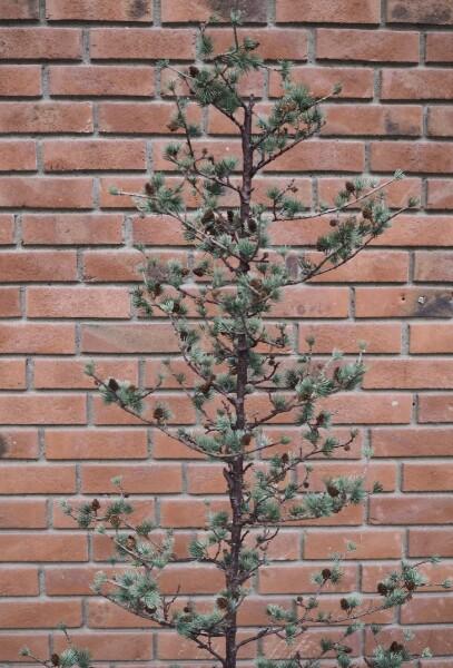 Bilde av Mr Plant - Lerketre - stort