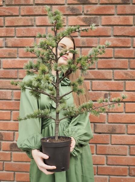 Bilde av Mr Plant - Sedertre