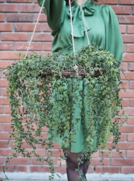 Bilde av Mr Plant - Lerkekrans hengende  - Grønn